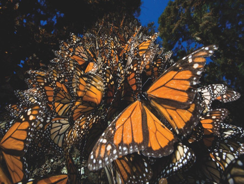 Monarch Butterflies - 500pc Jigsaw Puzzle by New York Puzzle Company
