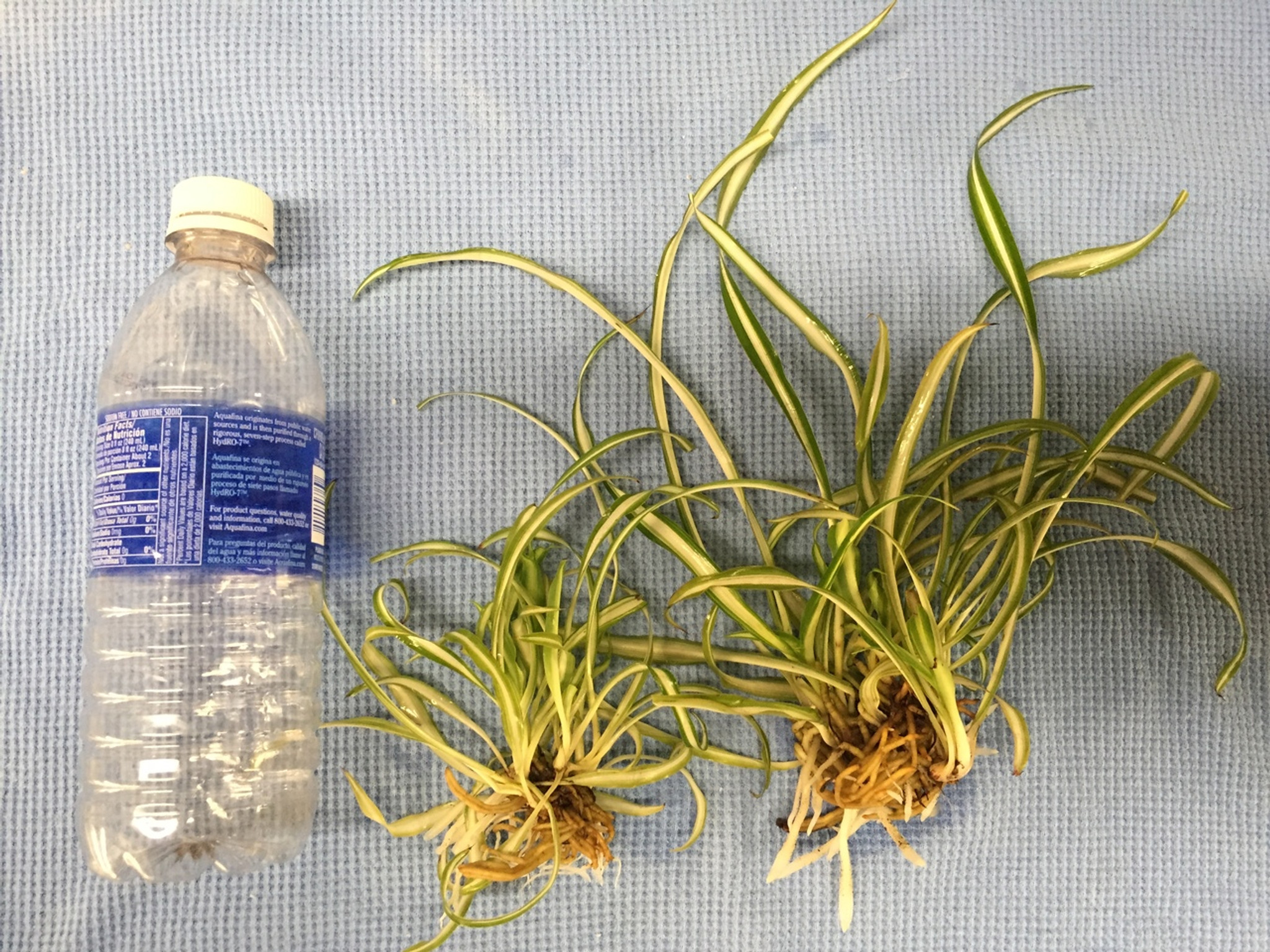 12 Reverse Variegated Spider Plant Babies Segelson S Daylilies Llc
