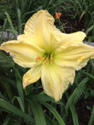 "Top Honors  Large pale yellow petals delight with a lime green throat...sure to brighten any garden!  Daylily Characteristics:  Size of Plant Shipped: Double Fan Flower Diameter - 7.5"" Scape Height - 24"" Bloom Time - Midseason Fragrant - Yes Ploidy - Diploid Foliage Habit - Semi - Evergreen Year of Registration - 1976 Awards –  Award of Merit, Honorable Mention"