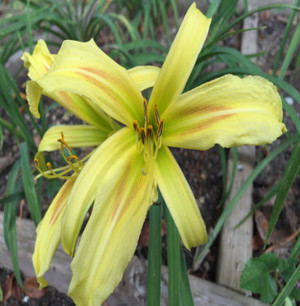 """Lines of Splendor  Fancier than a fascinator adorning the head of British Royalty, this award winner will add splendor to any garden!  This spider type rebloomer displays yellow-green recurved petals, and a unique light red eyezone graduating to a light green throat.  Daylily Characteristics  Size of Plant Shipped - Double Fan Flower Diameter - 8.5"""" Scape Height - 25 Bloom Time - Early Fragrant - No Ploidy - Diploid Foliage Habit - Evergreen Year of Registration - 1993 Awards – Honorable Mention 2007"""