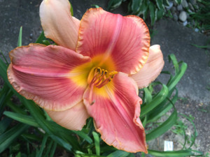 "Ashwood Rings of Saturn  A rosey pink with darker ringed eye above a yellow green throat.  Daylily Characteristics:  Size of Plant Shipped: Double Fan  Flower Diameter - 6""  Scape Height - 36""  Form - Single Bloom Time - Early, Midseason   Fragrant - No  Ploidy - Tetraploid  Foliage Habit - Dormant  Year of Registration - 2005  Hybidizer - Norris"