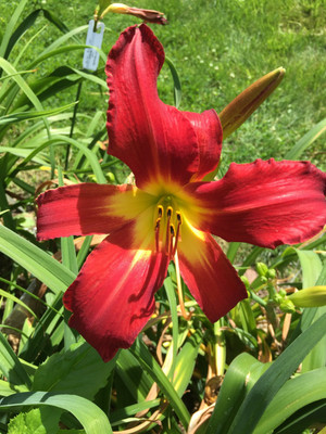 "Spiderman  A brilliant red self with a yellow throat.  Daylily Characteristics:  Size of Plant Shipped: Double Fan  Flower Diameter - 7""  Scape Height - 24""  Form - Single, Spider Variant 4.0:1 to 5.0:1 Bloom Time - Early, Midseason  Fragrant - No  Ploidy - Tetraploid  Foliage Habit - Dormant  Year of Registration - 1982  Hybidizer - Durio  Awards - Award of Merit: 1998 Honorable Mention: 1993"