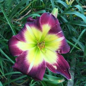 "Laura Harwood  A burgundy purple and a yellow cream halo above a green throat  Daylily Characteristics:  Size of Plant Shipped: Double Fan  Flower Diameter - 7""  Scape Height - 23""  Form - Single Bloom Time - Midseason Fragrant - Yes  Ploidy - Diploid  Foliage Habit - Semi Evergreen  Year of Registration - 1997  Hybidizer - Harwood  Awards - Award of Merit: 2010 Honorable Mention: 2005"