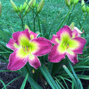 "Egyptian Myth  Purple with yellow green patterned eye above green throat  Daylily Characteristics:  Size of Plant Shipped: Double Fan  Flower Diameter - 7""  Scape Height - 27""  Form - Single Bloom Time - Midseason Fragrant - No  Ploidy - Tetraploid  Foliage Habit - Semi Evergreen  Year of Registration - 2001  Hybridizer - Salter"