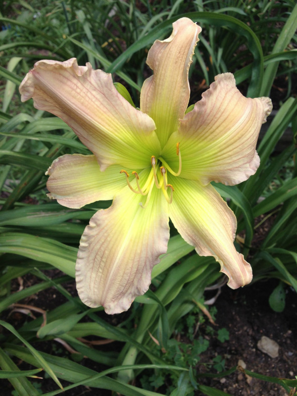 """Prague Spring  Beautifully unique flesh and green blend petals are pinch ruffled and recurved, ascending to a bright green throat.  Award winning splendor!  Daylily Characteristics:  Size of Plant Shipped: Double Fan, Flower Diameter - 7"""", Scape Height - 30"""", Bloom Time - Midseason, Fragrant - No, Ploidy - Diploid, Foliage Habit - Dormant, Year of Registration - 1985, Awards –  Honorable Mention"""