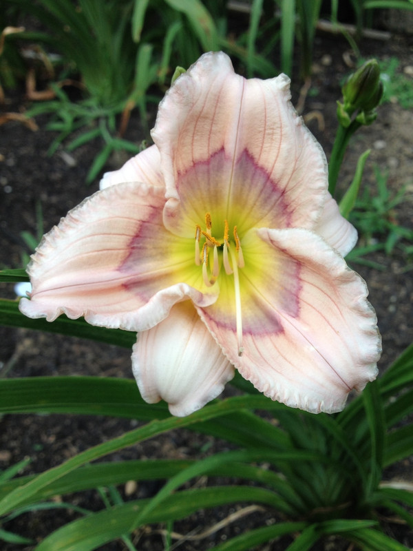 "Siloam David Kirchhoff  Go ahead & indulge...skip the willpower and own this lovely orchid-colored multi-award winner!  Striking cerise pencil and lavender eyezone on the recurved and ruffled petals graduate to a green throat.  Daylily Characteristics:  Size of Plant Shipped: Double Fan, Flower Diameter - 3.5"", Scape Height - 16"", Bloom Time - Early, Midseason, Fragrant - No, Ploidy - Diploid, Foliage Habit - Dormant, Year of Registration - 1986, Awards –  Junior Citation, Honoable Mention, Award of Merit,  Annie T. Giles, Don C. Stevens Award"