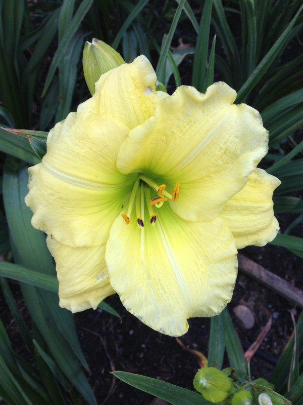 "Siloam Joy  Joy to your garden!  The pale yellow recurved and ruffled petals graduate to a green throat...sure to bring years of enJOYment to any garden!  Daylily Characteristics:  Size of Plant Shipped: Double Fan Flower Diameter - 5.5"" Scape Height - 20"" Bloom Time - Early, Midseason Fragrant - No Ploidy - Diploid Foliage Habit - Dormant Year of Registration - 1980"
