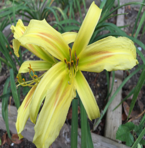 "Lines of Splendor  Fancier than a fascinator adorning the head of British Royalty, this award winner will add splendor to any garden!  This spider type rebloomer displays yellow-green recurved petals, and a unique light red eyezone graduating to a light green throat.  Daylily Characteristics  Size of Plant Shipped - Double Fan Flower Diameter - 8.5"" Scape Height - 25 Bloom Time - Early Fragrant - No Ploidy - Diploid Foliage Habit - Evergreen Year of Registration - 1993 Awards – Honorable Mention 2007"