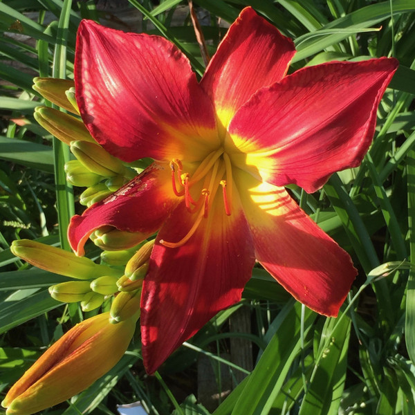 """All American Chief  Giant red blooms with a brilliant yellow center.  A fantastic looking flower that is continuous eye catcher in our display garden.  Daylily Characteristics  Size of Plant Shipped - Double Fan Flower Diameter - 9"""" Scape Height - 32"""" Bloom Time - Midseason Fragrant - No Ploidy - Tetraploid Foliage Habit - Dormant Year of Registration - 1994 Hybridizer - Sellers Awards - Stout Silver Medal 2008 Award of Merit 2004 Honorable Mention 1999 Extra Large Diameter  Award 2006"""