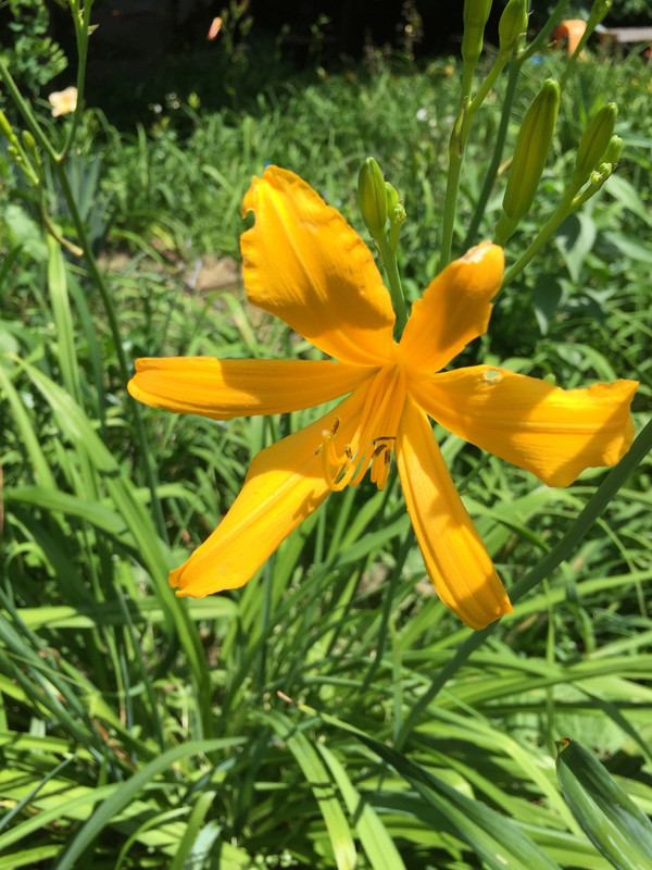 """Nutmeg Elf  A golden yellow spider that's sure please.  Daylily Characteristics:  Size of Plant Shipped: Double Fan  Flower Diameter - 3""""  Scape Height - 18""""  Form - Spider 4.60:1 Bloom Time - Early, Midseason   Fragrant - No  Ploidy - Diploid  Foliage Habit - Dormant  Year of Registration - 1978  Hybidizer - McCabe"""