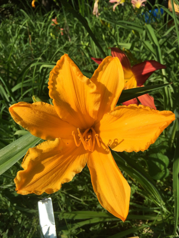 """Cornwall  An orange sherbet self  Daylily Characteristics:  Size of Plant Shipped: Double Fan  Flower Diameter - 6""""  Scape Height - 28""""  Form - Single Bloom Time - Midseason Fragrant - Yes  Ploidy - Diploid  Foliage Habit - Dormant  Year of Registration - 1966  Hybridizer - Lambert  Awards - Honorable Mention: 1970 JC: 1967"""