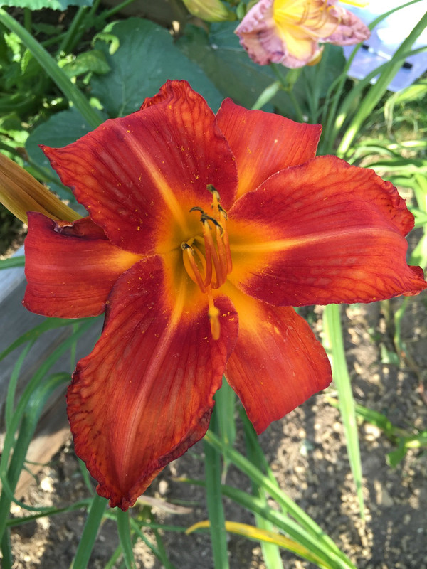 "Fire Bird Suite  A vivid orange self with a red eye above a yellow throat!  Daylily Characteristics:  Size of Plant Shipped: Double Fan  Flower Diameter - 8""  Scape Height - 40""  Form - Unusual Form - Cascade Bloom Time - Early, Midseason Fragrant - Yes  Ploidy - Tetraploid  Foliage Habit - Evergreen  Year of Registration - 2008  Hybridizer - Trimmer-J."