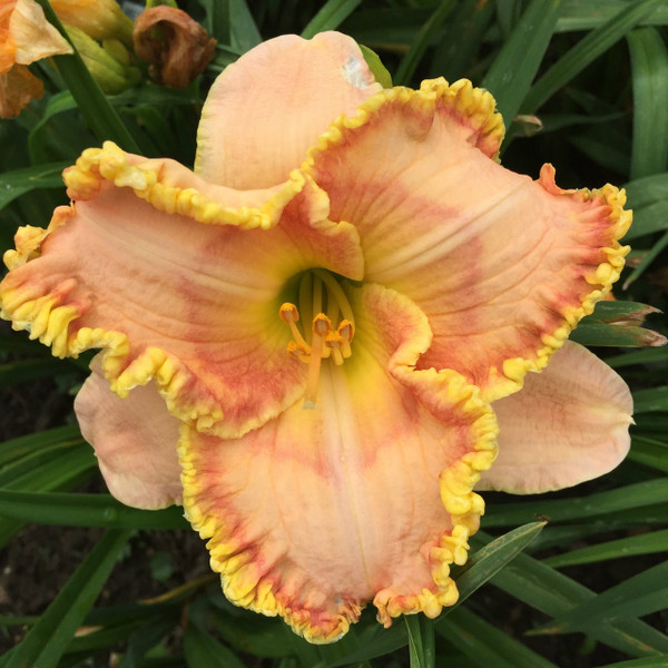 "Egyptian Myth  A light yellow self above a light green throat  Daylily Characteristics:  Size of Plant Shipped: Double Fan  Flower Diameter - 5 1/2""  Scape Height - 27""  Form - Double, Unusual Form - Cascade Bloom Time - Early, Midseason Fragrant - No  Ploidy - Diploid  Foliage Habit - Semi Evergreen  Year of Registration - 2003  Hybridizer - Salter"