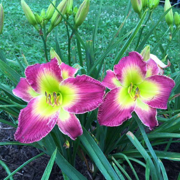 """Egyptian Myth  Purple with yellow green patterned eye above green throat  Daylily Characteristics:  Size of Plant Shipped: Double Fan  Flower Diameter - 7""""  Scape Height - 27""""  Form - Single Bloom Time - Midseason Fragrant - No  Ploidy - Tetraploid  Foliage Habit - Semi Evergreen  Year of Registration - 2001  Hybridizer - Salter"""