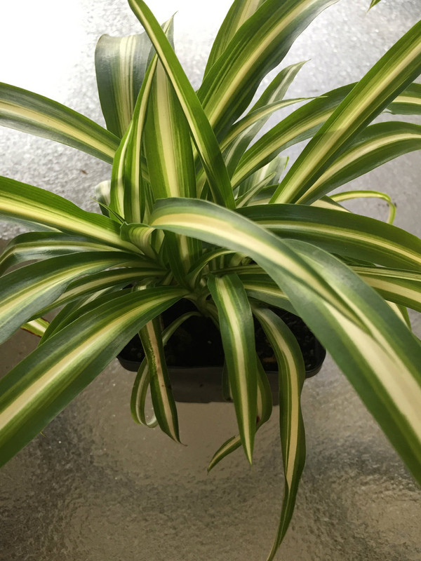 Reverse Variegated Spider Plant Baby  (Chlorophytum Comosum, Vittatum)  Vittatum has a white stripe down the center of the blade with outer light green edges.  A spectacular fast growing plant that thrives indoors with bright light.