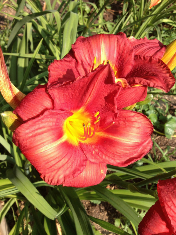 "Chicago Apache  Bright red petals with a bright yellow throat.     Daylily Characteristics:  Size of Plant Shipped: Double Fan Flower Diameter - 5"" Scape Height - 27"" Bloom Time - Midseason Ploidy - Tetraploid Foliage Habit - Dormant Year of Registration - 1981 Awards –  1985 Honorable Mention"