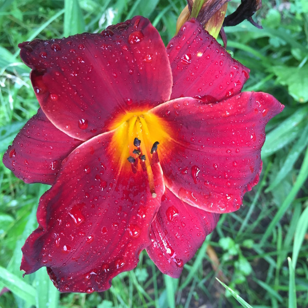 "African Chant  Deep dark red petals with a yellow throat.    Daylily Characteristics:  Size of Plant Shipped: Double Fan, Flower Diameter - 5"", Scape Height - 30"", Bloom Time - Midseason, Ploidy - Diploid, Foliage Habit - Dormant, Year of Registration - 1984"