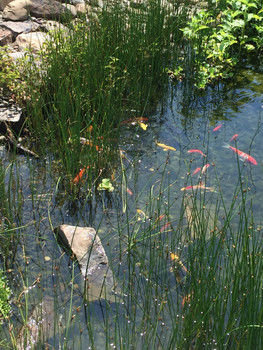 One of Natural Waterscapes' ponds that used to be plagued with Green Water- Now crystal clear!