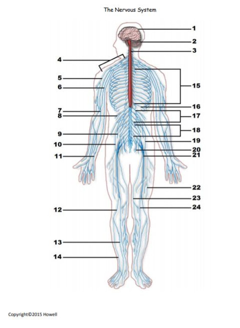 The Nervous System Identification Quiz Or Worksheet For Anatomy Amped Up Learning