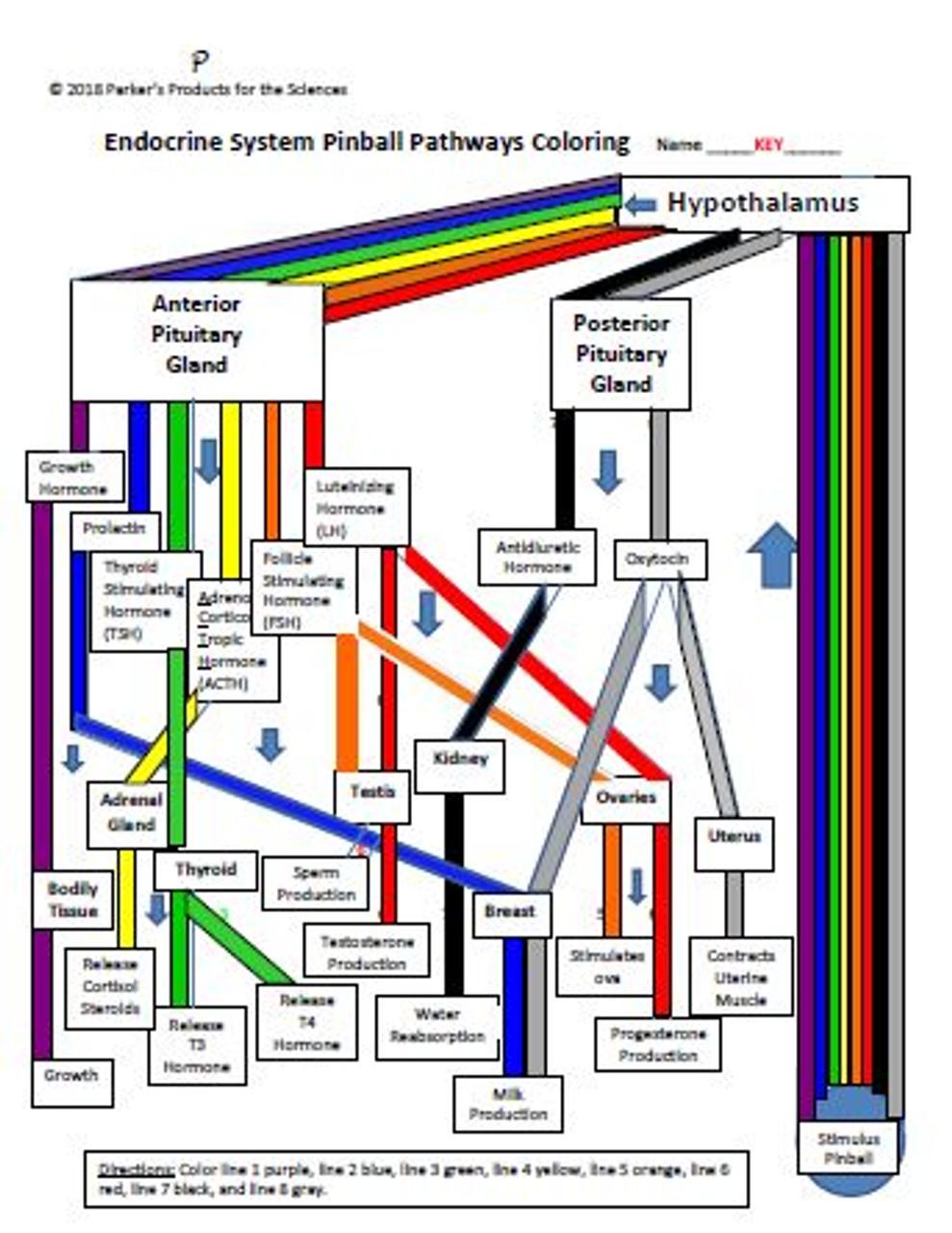 Endocrine System Pinball Pathways Coloring Worksheet