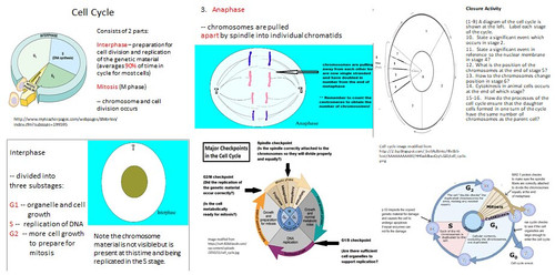 Cell Cycle and Mitosis Learning Activities for AP Biology (Distance Learning)