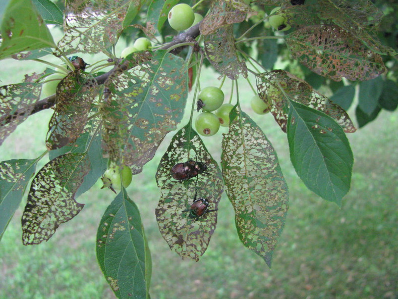 OH NO.....Japanese beetles are back!