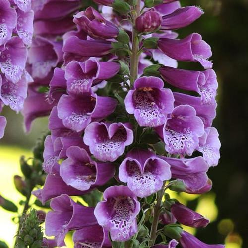 Digitalis Dalmatian - Purple
