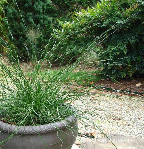 Juncus Twister Grass