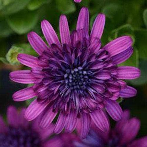 Osteospermum Double 4D Purple