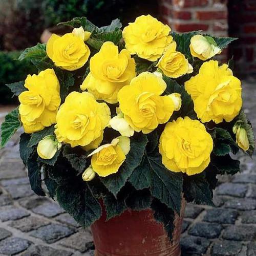Begonia Roseform Yellow