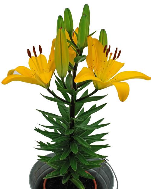 "Lily Asiatic Golden Matrix 6"""