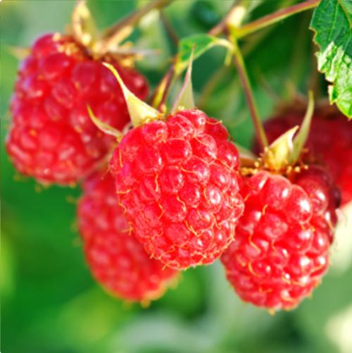 Raspberry Nova