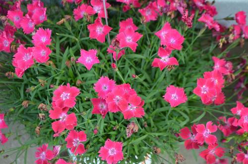 "Dianthus ""Kahori Scarlett"""