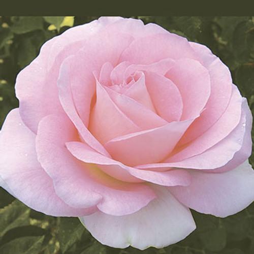 Rose Falling in Love C1000