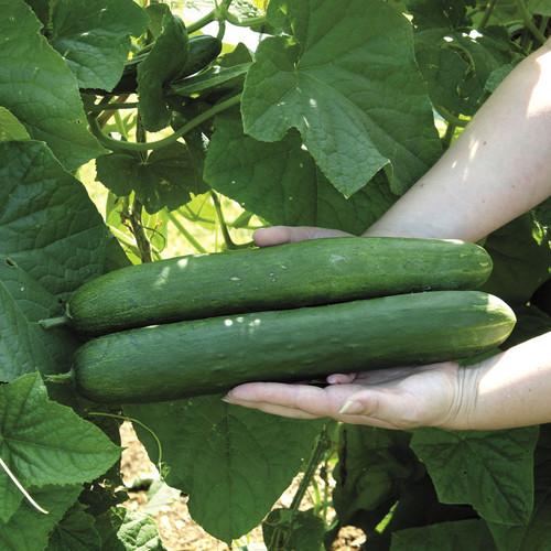 "Cucumber Sweet Success 4"" P&F"