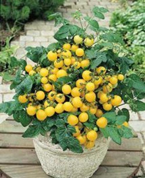 Tomato Yellow Canary