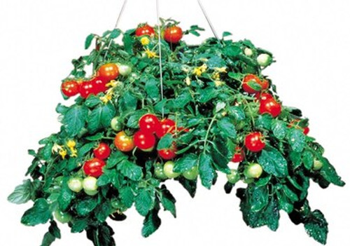 "Tomato Tumbler 6"" Square"