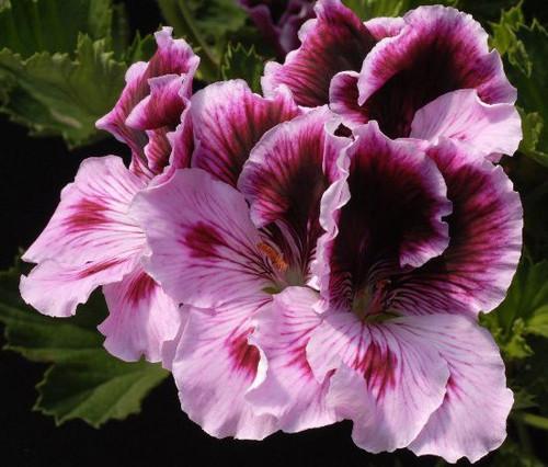 Martha Washington Geranium Cotton Candy