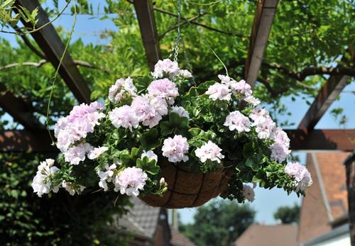 Ivy Geranium White