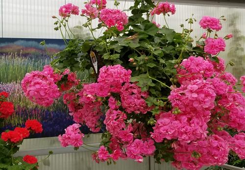 Ivy Geranium Pink