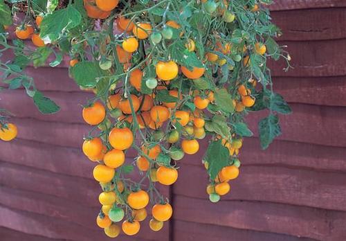Tomato Goldie Hanging Basket