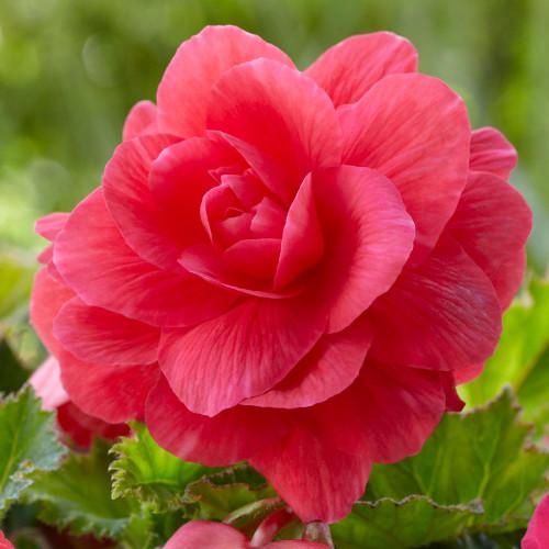 Begonia Roseform Pink