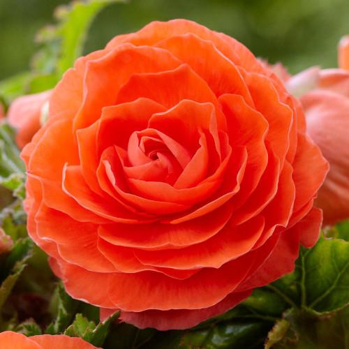 Begonia Roseform Orange