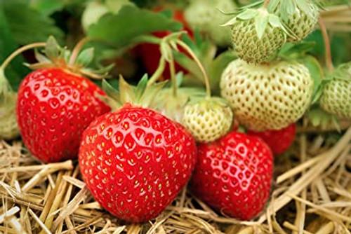 Strawberries - Bareroot Honeoye 20/Bundle