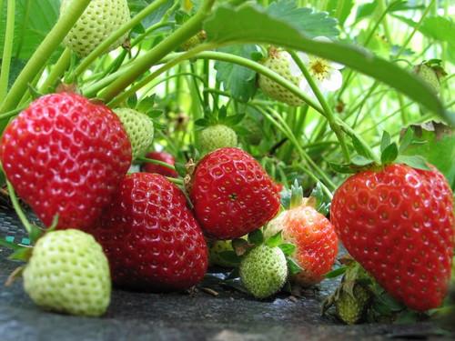 Strawberries - Bareroot Seascape 20/Bundle