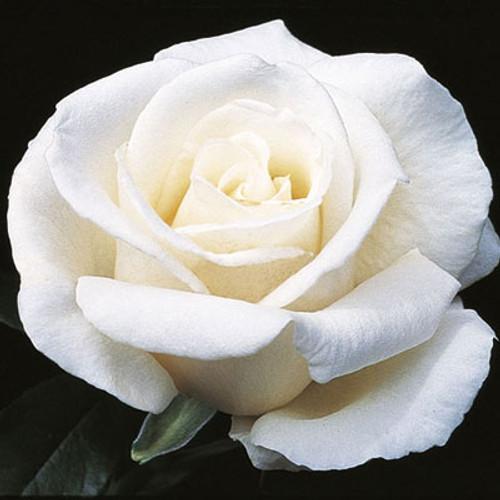 Rose Full Sail C1000
