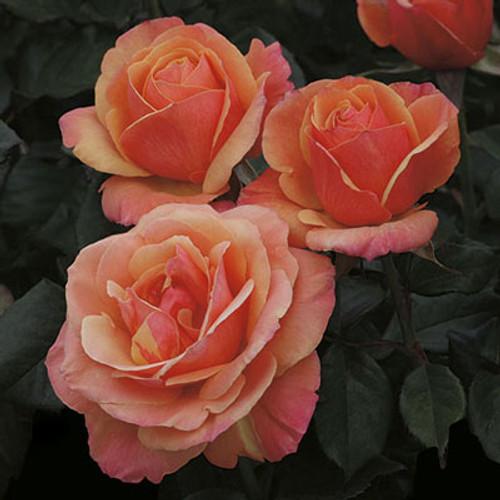 Rose Anna's Promise C1000