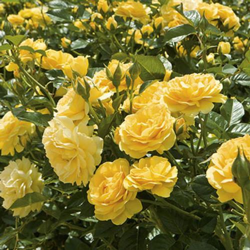 Rose Julia Child C1000