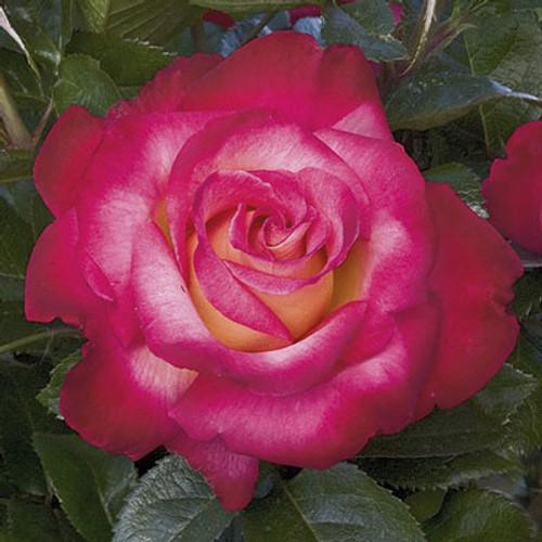 Rose Dick Clark C1000