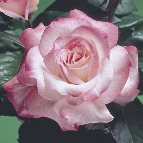 Rose Secret C1000